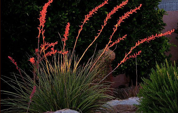 Hesperaloe-parviflora