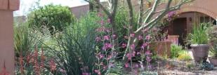 pruned palo verde