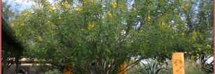 caesalpinia cacalaco janets house