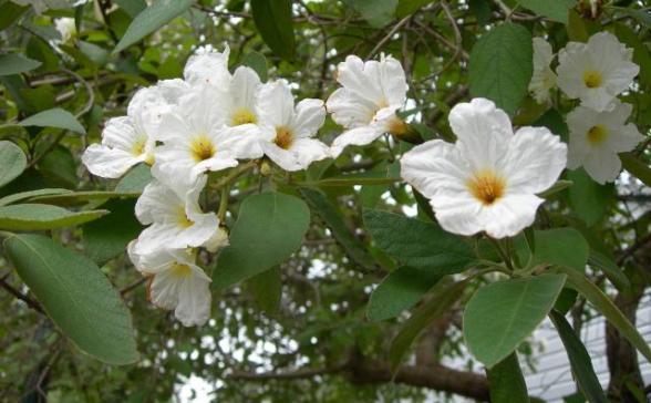 cordia flowers